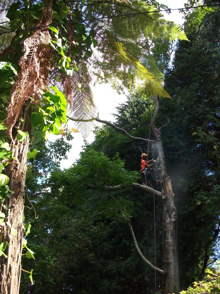 Removing damaged branches in a large Liquidambar styraciflua (Sweet Gum) tree.