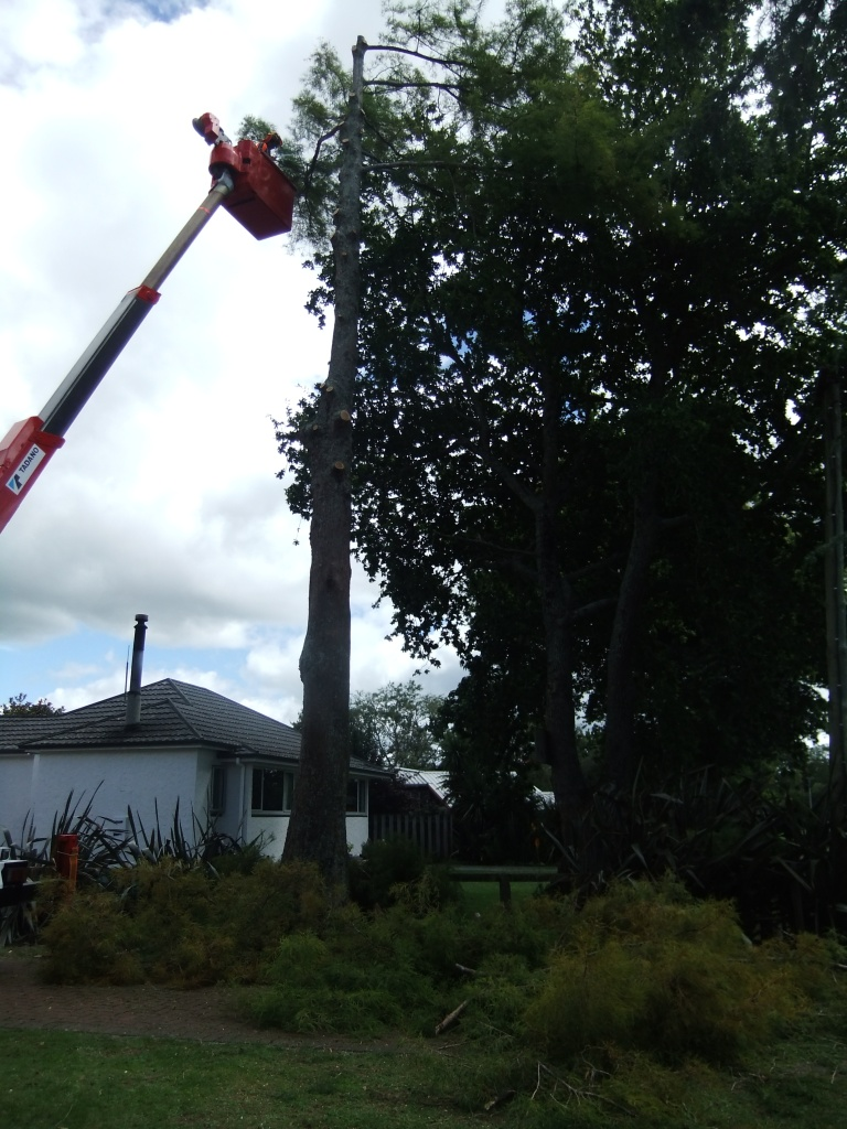 Removing a large Taxodium distichum (Swamp Cypress) tree with a lift truck.