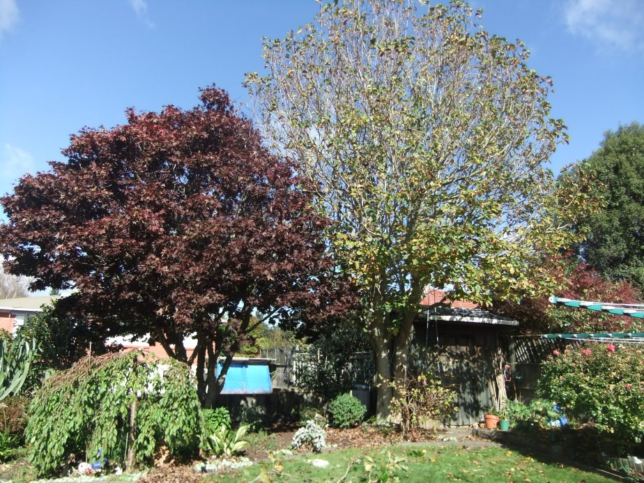 Acer (Maple) (left) and Magnolia (right) before pruning do not allow enough light for garden beneath.