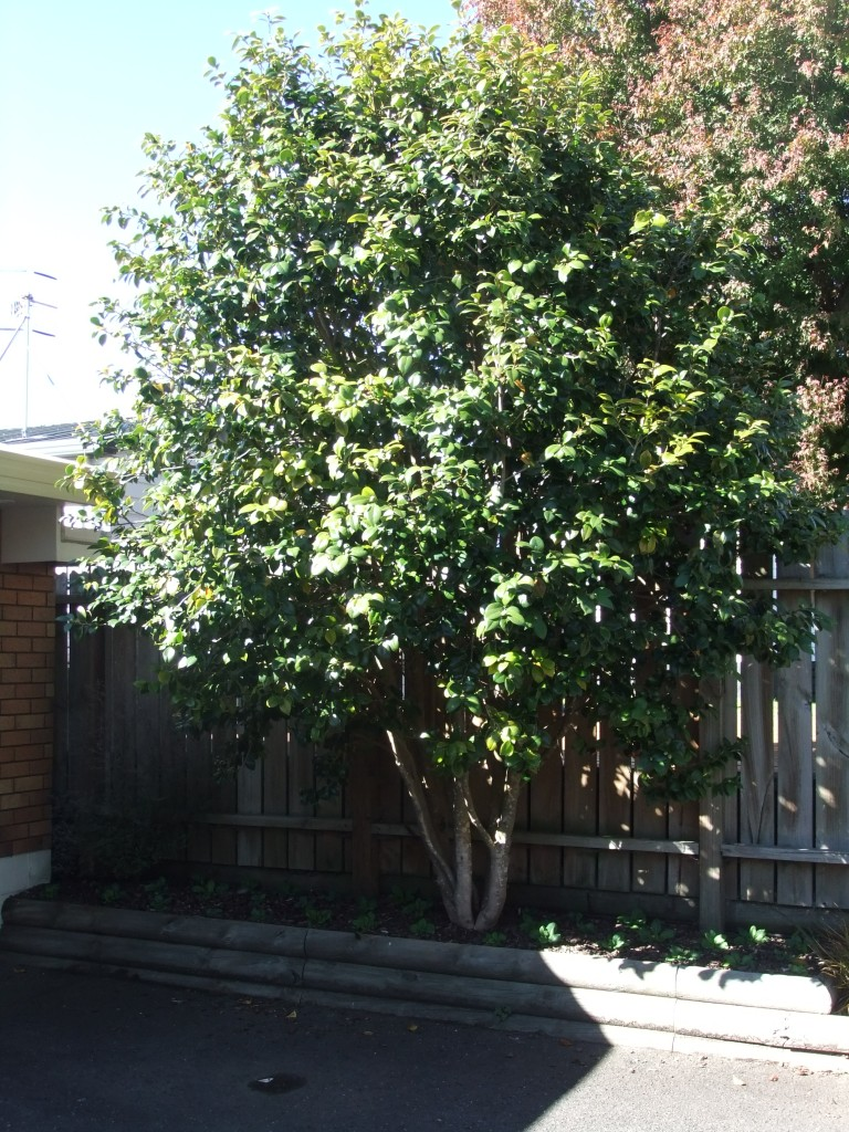 Large Camellia is out growing its position in a retained garden near a garage and impeding vehicle access.